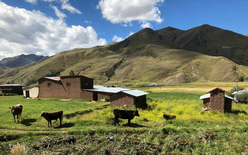 These are cows in Peru  which grows its own food